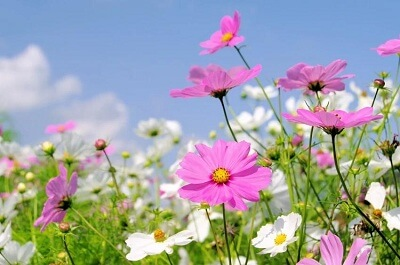 Đặc điểm của hoa cúc ba tư