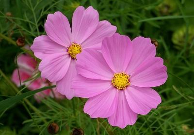 Hoa cúc ba tư