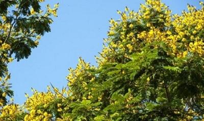 Hoa hoàng điệp với sắc màu ngọt ngào của nắng