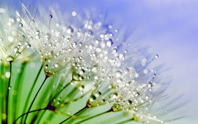 hoa bồ công trắng