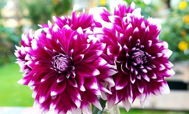 dahlias flowers