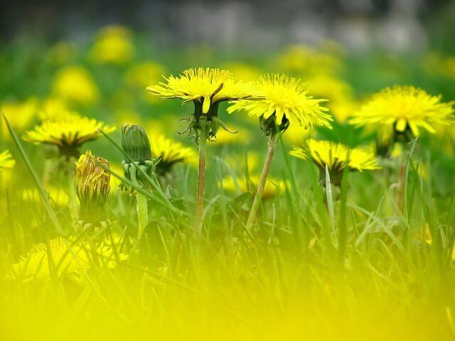 đồng cỏ hoa bồ công anh