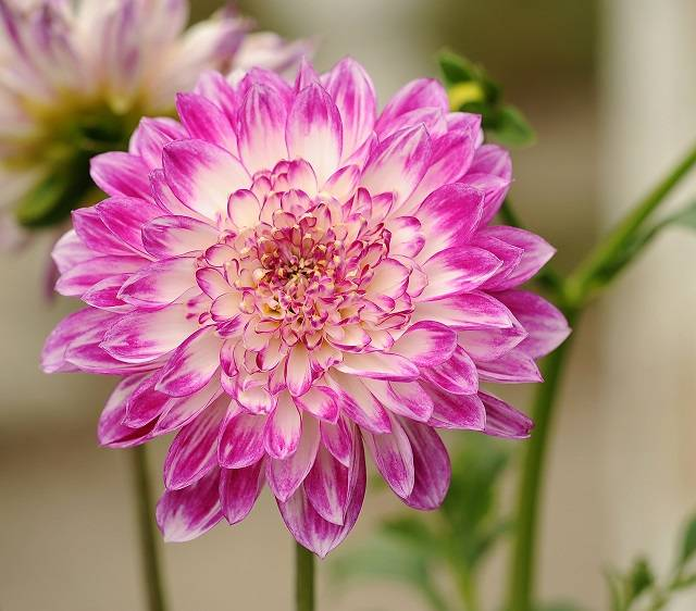 hoa thược dược hồng tím