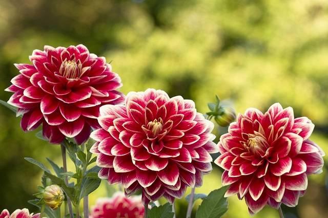 hoa thược dược màu đỏ