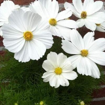 Ý nghĩa của loài hoa cúc ba tư