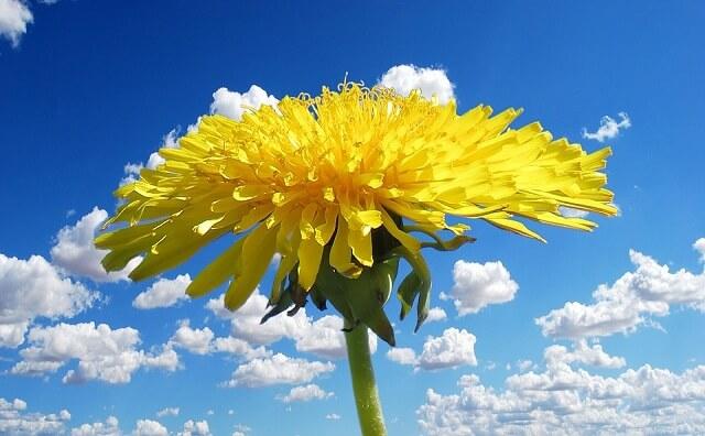 hoa bồ công anh mới nở