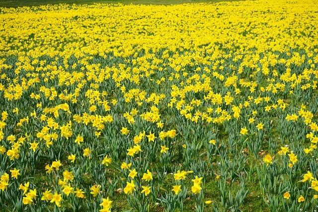 cánh đồng hoa thủy tiên