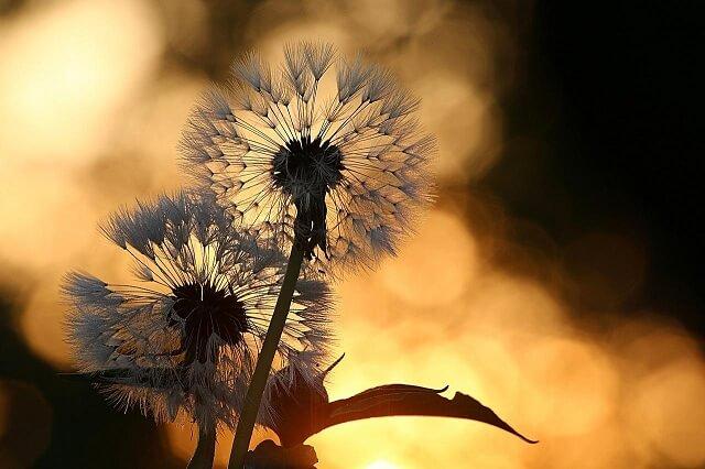 hoa bồ công anh buổi chiều