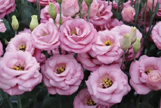 hoa cát tường được sử dụng trong ngày của mẹ