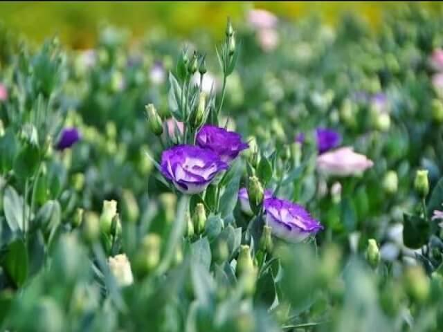 hoa cát tường - hình ảnh của ý chí, sức sống mãnh liệt