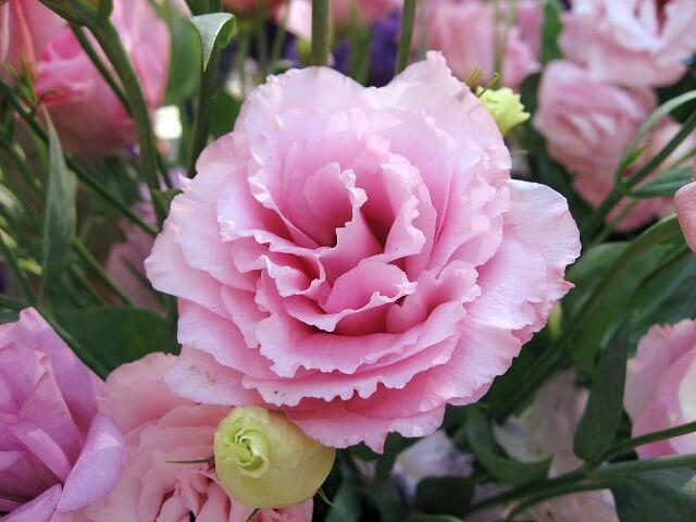 hoa cát tường màu hồng