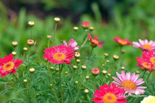 hoa cúc họa mi đẹp