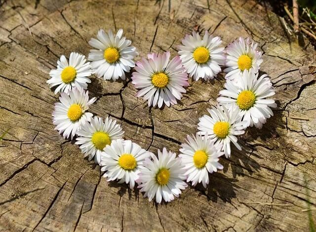 hoa cúc họa mi màu trắng