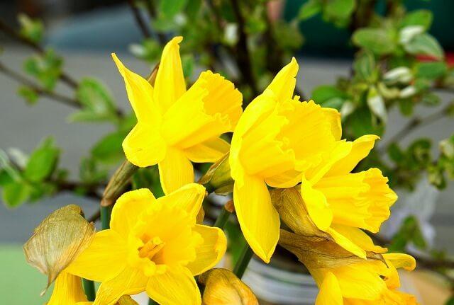 hoa thủy tiên màu vàng