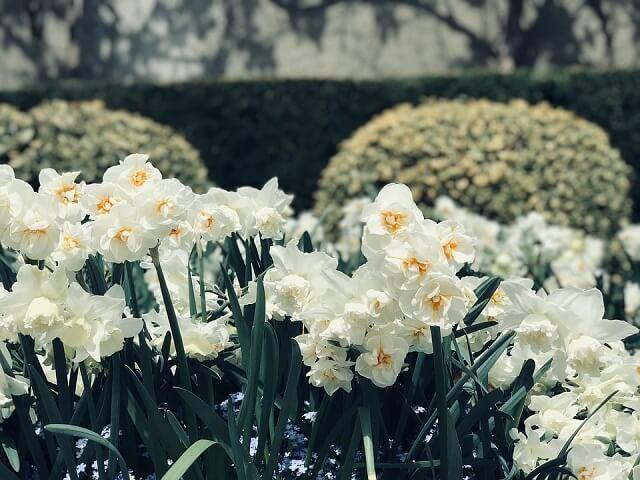 hoa thủy tiên trắng