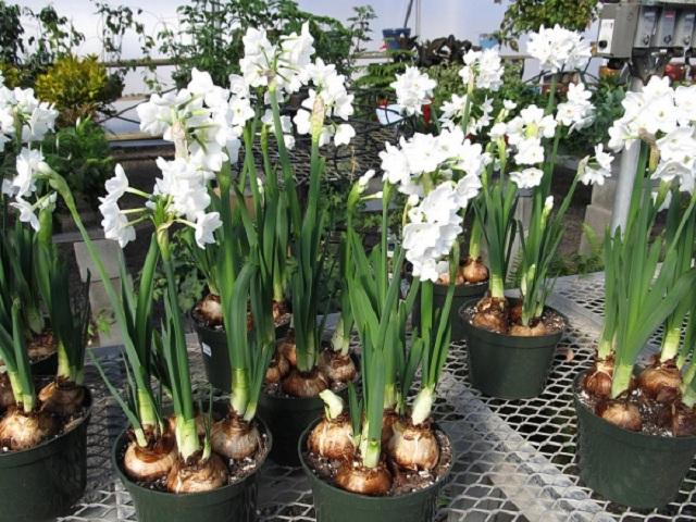 Hướng dẫn cách trồng hoa thủy tiên dịp Tết