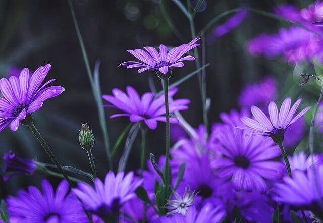 những bông cúc họa mi màu tím